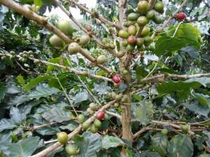 Кофе на плантации